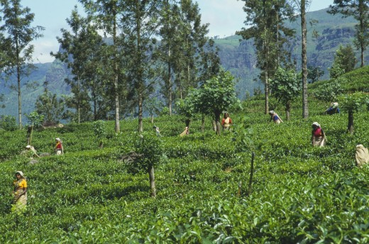 Sri Lanka, Nuwara Eliya, Farming, Women Tea Pickers At Work On Hillside Plantation : Stock Photo