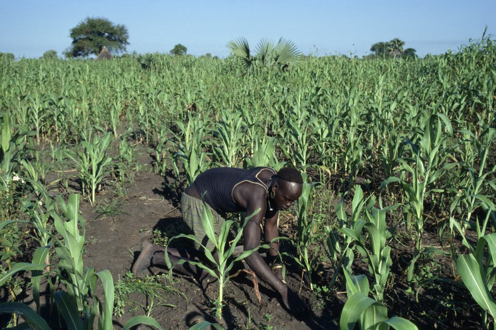 Sudan, Farming, Dinka Man Tending Maize And Other Crops. : Stock Photo