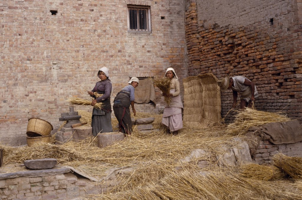 Nepal, Patan, Women Threshing Wheat In The Street. : Stock Photo