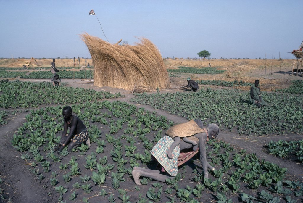 Stock Photo: 1850-21307 Sudan, Agriculture, Farming, 'Dinka Tending Tobacco Crop, Woman Carrying Child On Her Back In Foreground.'