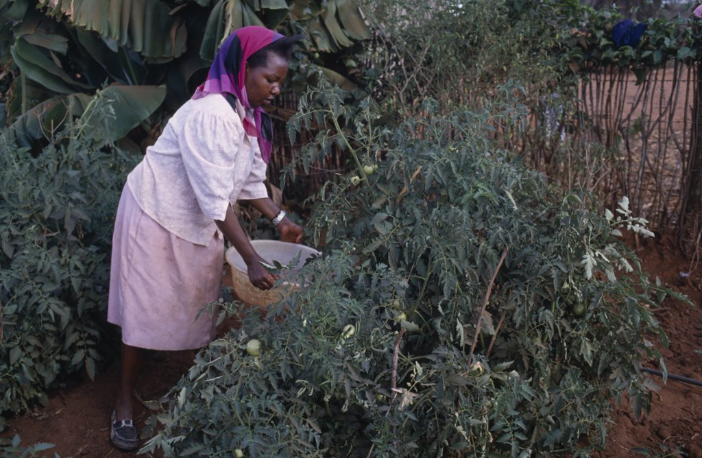 Stock Photo: 1850-21388 Kenya, Kibwezi, Woman Watering Tomato Crop Growing On Shamba.