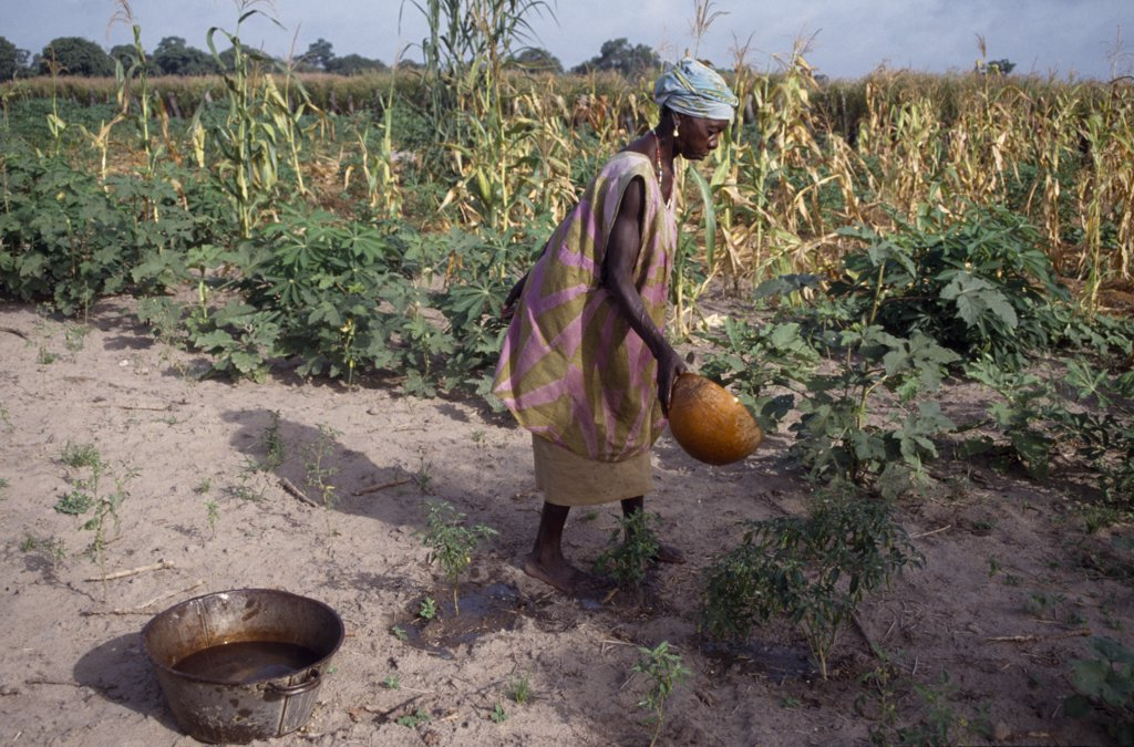Stock Photo: 1850-21389 Gambia, Agriculture, Woman Watering Plants And Saplings In Tree Nursery.