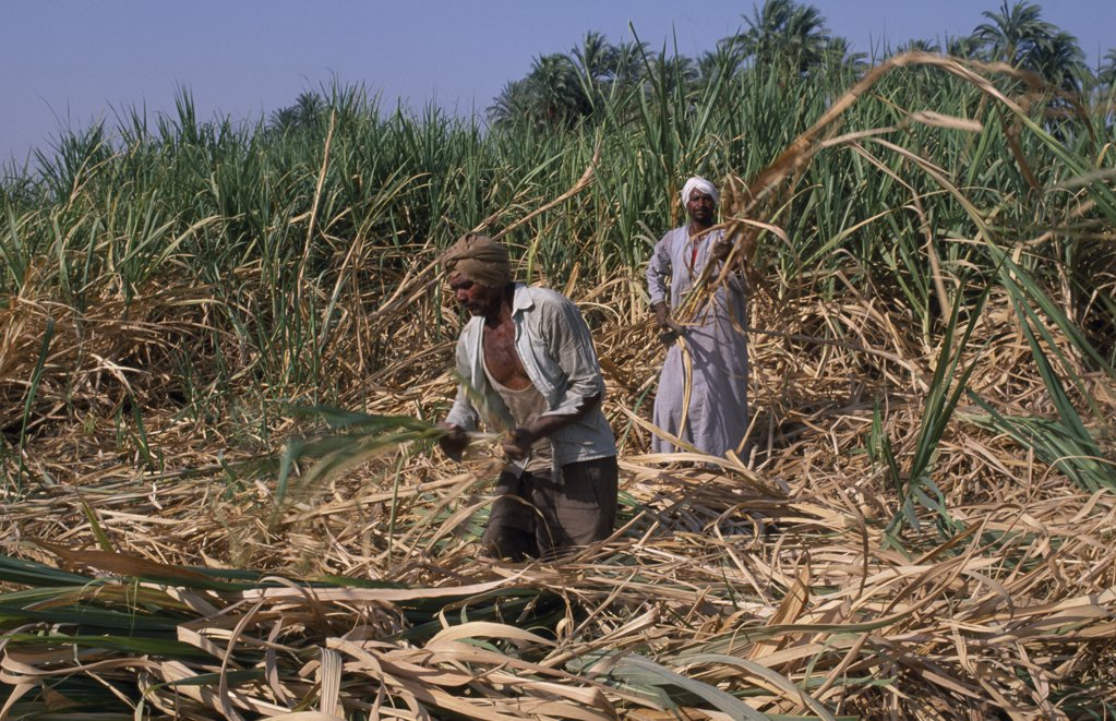 Egypt, Nile Valley, Luxor, Sugar Harvest. Two Men Working Amongst Crop : Stock Photo