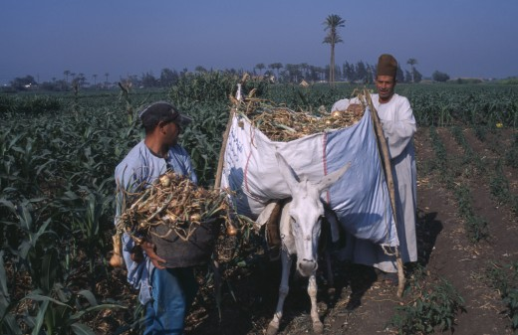 Stock Photo: 1850-21663 Egypt, Nile Delta, Onion Harvest. Two Men Loading Onions Onto A Donkey