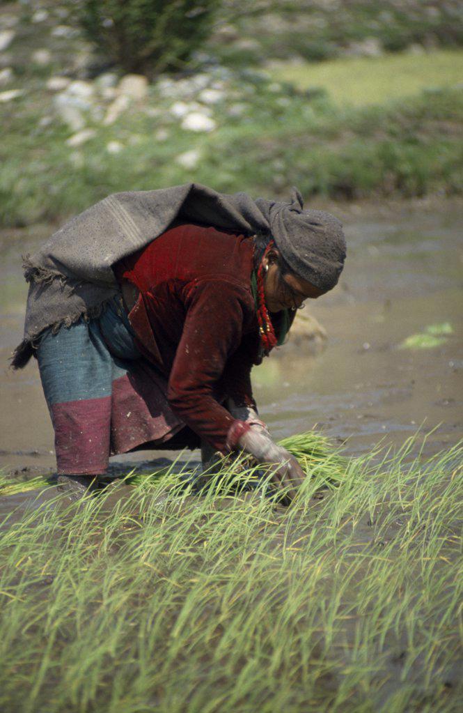 Stock Photo: 1850-22384 Nepal,  Tila Khola Valley , Garjlankot, Lower Dolpo Trek. Near Jumla. Woman Transplanting Rice Seedlings In Garjlankot Village