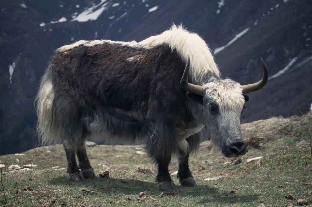 Nepal, Lower Dolpo Trek, Jangla Bhanjyang, Yak Grazing Below The Jangla Bhanjyang : Stock Photo