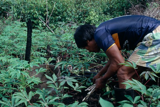 Colombia, North West Amazon, Tukano Indigenous People, Venancio One Of Ignacio'S Sons Planting Manioc Cuttings In The Family Chagra Shifting Agriculture Cultivation Plot. Tukano  Makuna Indian North Western Amazonia  Cassava American Colombian Columbia Hispanic Indegent Latin America Latino Male Men Guy South America Tukano : Stock Photo