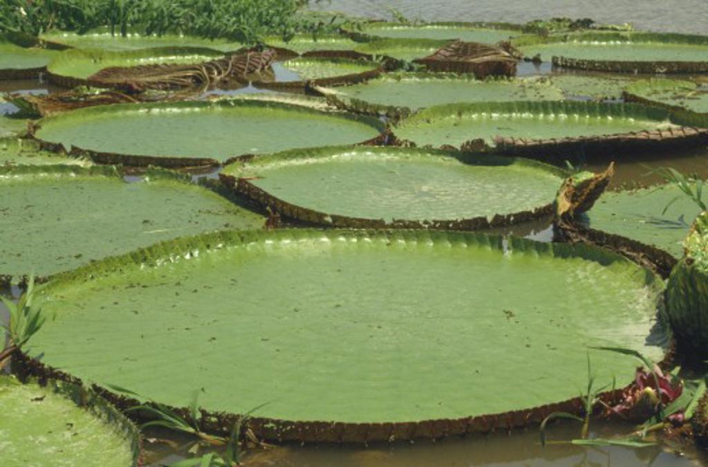 Brazil, Amazon, Victoria Amazonica Giant  Water Lillies. : Stock Photo