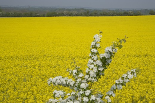 England, West Sussex, South Downs, Field Of Yellow Oilseed Rape Flowers : Stock Photo