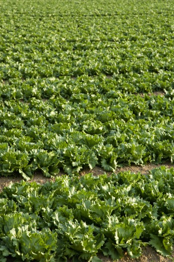 England, West Sussex, Chichester, Rows Of Ripe Green Lettuce Growing In A Field : Stock Photo