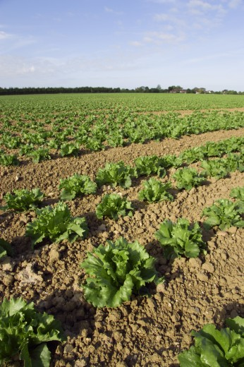 England, West Sussex, Chichester, Rows Of Ripe Green Lettuce Growing In A Field Viewed From Ground Level : Stock Photo