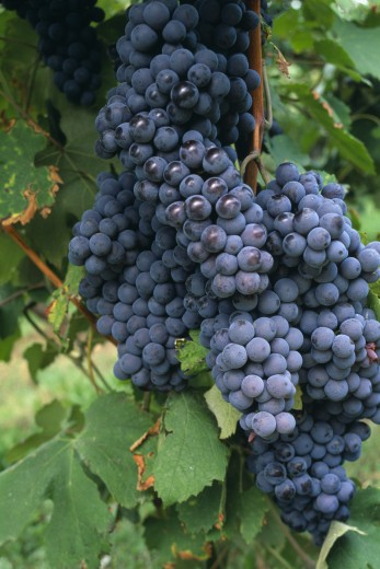 Italy, Veneto, Lake Garda, Bardolino.   Bunches Of Red Grapes For Local Wine Production Hanging From Vine. : Stock Photo