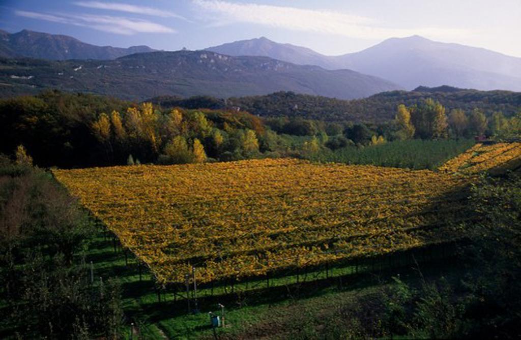 Italy, Trentino-Alto Adige, Lake Garda Area, Vineyards In Autumn Landscape Near Arco. : Stock Photo