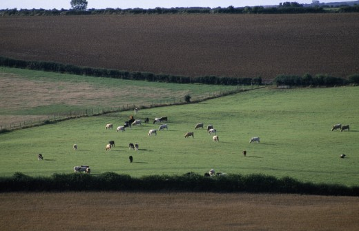 Stock Photo: 1850-23891 England, Dorset, Agriculture, Agricultural Landscape Near Dorchester Showing Cattle Grazing In Pasture Between Ploughed Fields.