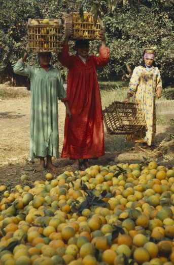 Egypt, Nile Delta, Orange Harvest. Female Pickers With Crates On Their Heads : Stock Photo