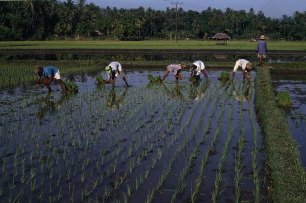 Indonesia, Bali , Kalikbukbuk, Planting Rice Shoots In Paddy Field. : Stock Photo