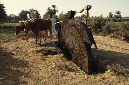 Egypt, Agriculture, Irrigation, Man Using Irrigation Wheel With Cattle : Stock Photo