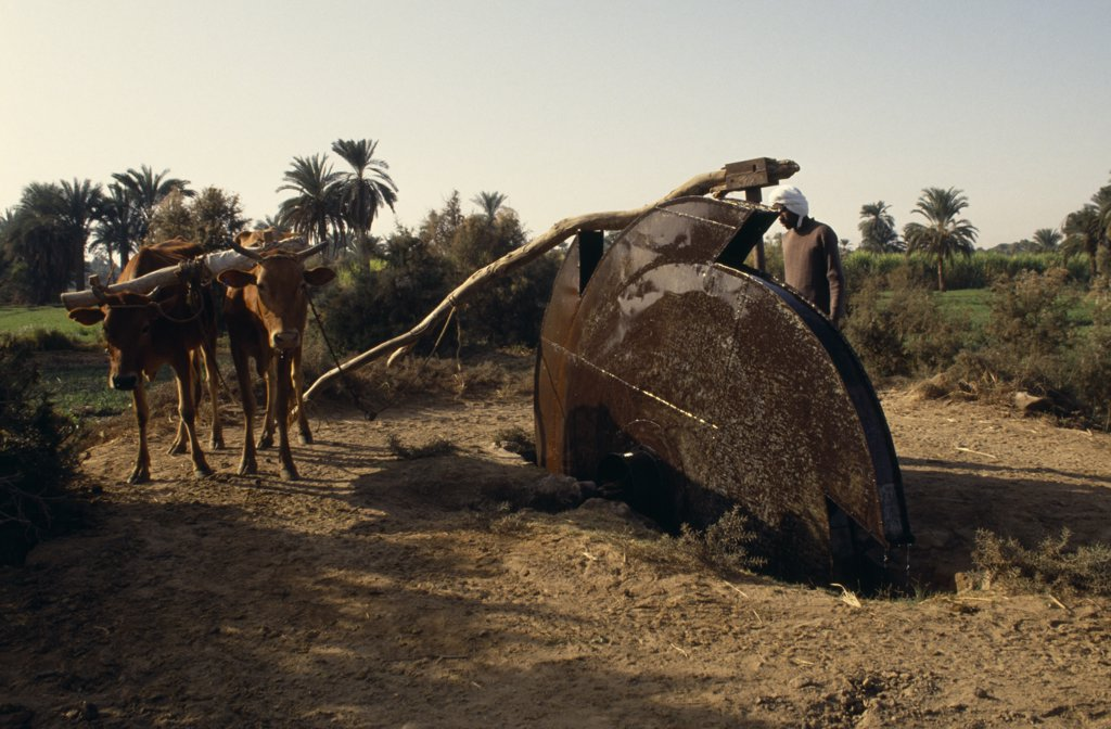 Stock Photo: 1850-2509 Egypt, Nile Valley, Aswan, Man Using An Irrigation Wheel With Cattle