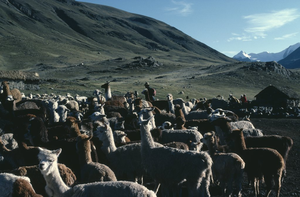 Stock Photo: 1850-25409 Bolivia, Collpa Huata, Llamas And Herders With Green Mountains Behind.