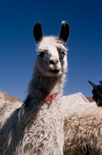 Bolivia, Cayara , 'Single Llama Near Herd. Domestic Animals In Bolivia And Peru Used For Wool, Meat And Milk' : Stock Photo