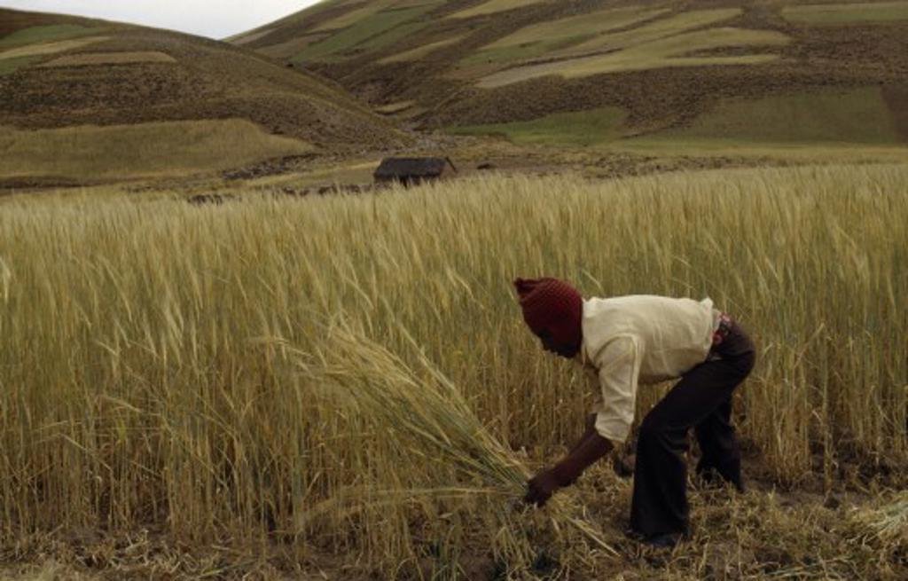 Bolivia, Altiplano, Potosi,  Aymara / Quechua Man Reaping Barley. Near Potosi : Stock Photo