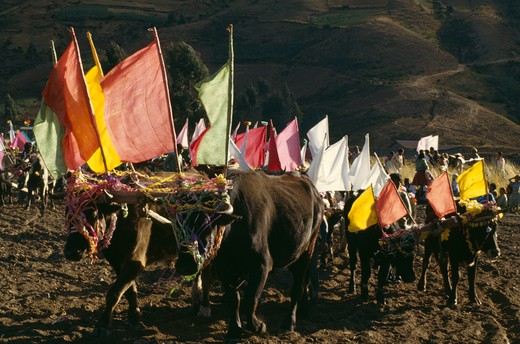 Bolivia, Cochabamba, Ox Ploughing Festival. Ox Cattle Carrying Coloured Flags Near Cochabamba : Stock Photo