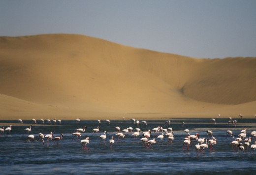 Wildlife, Birds, Flamingoes, Flamingoes Feeding In A Lagoon In Front Of Sand Dunes Near Walvis Bay On The Atlantic Coast Of Namibia : Stock Photo