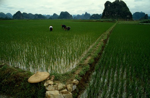China, Guangxi, Guilin, Planting Rice In Paddy Fields : Stock Photo