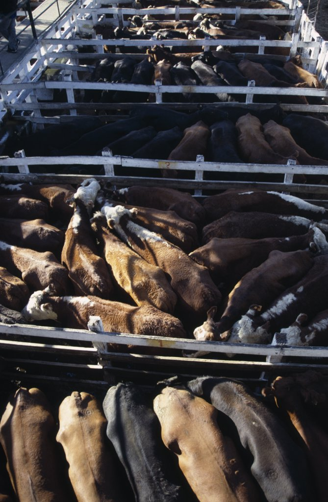 Stock Photo: 1850-25733 Argentina, Buenos Aires, Looking Down On Backs Of Animals In Tightly Packed Cattle Pens In Huge Cattle Market.