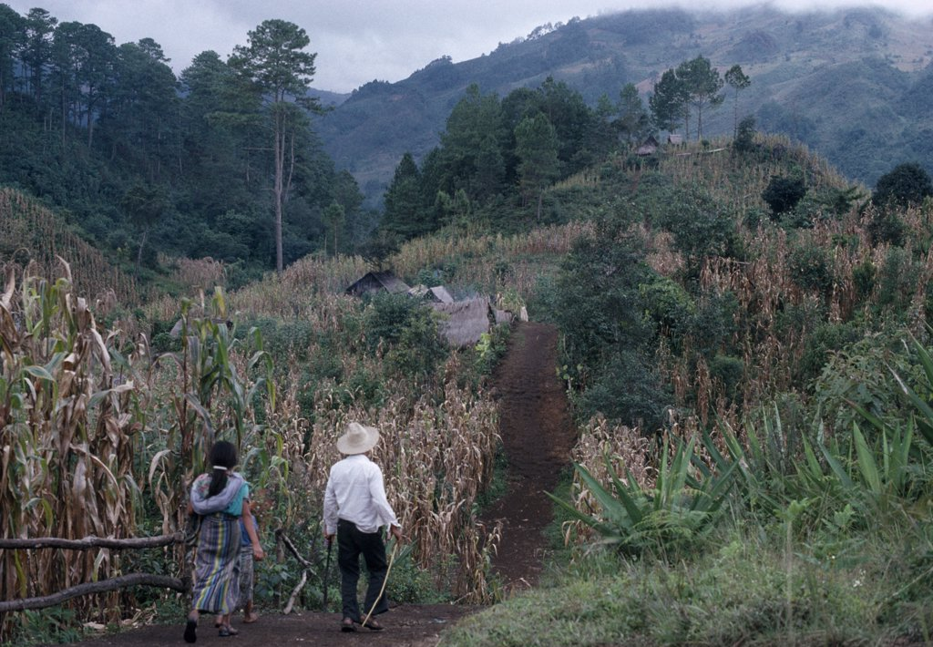 Stock Photo: 1850-25899 Guatemala, El Quiche, Chisis , Ixila Indian Man And Woman Walking Along Path Between Maize Crop