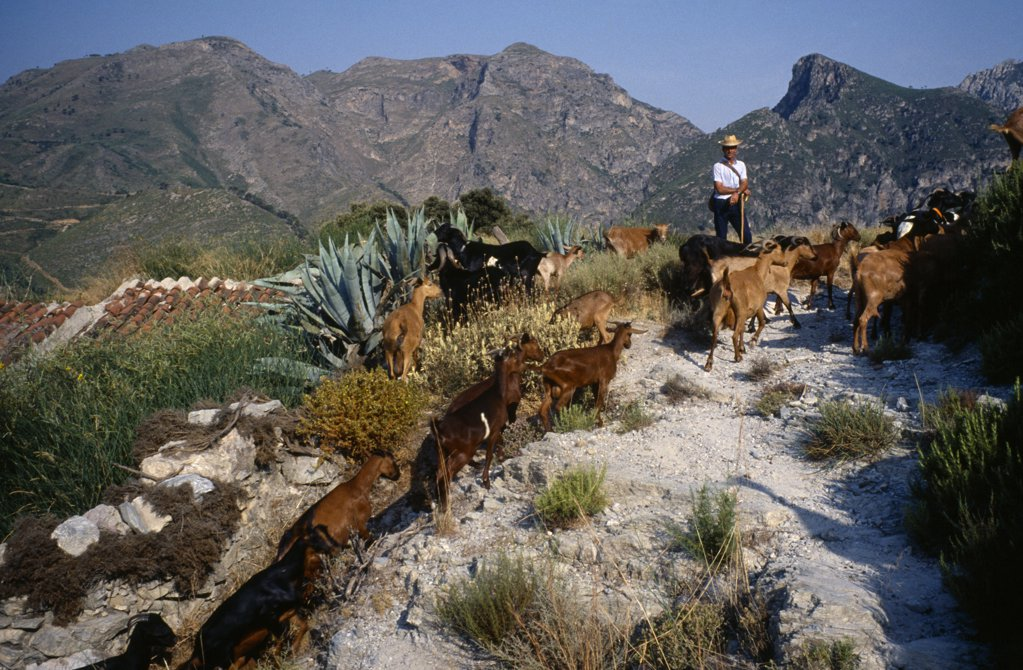 Spain, Sierra Nevada, Andalucia, Goat Herder On Mountain Track. : Stock Photo
