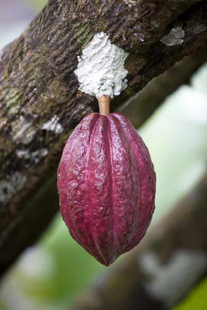 Stock Photo: 1850-26882 West Indies, Grenada, St John, Unripe Purple Cocoa Pod Growing From The Branch Of A Cocoa Tree