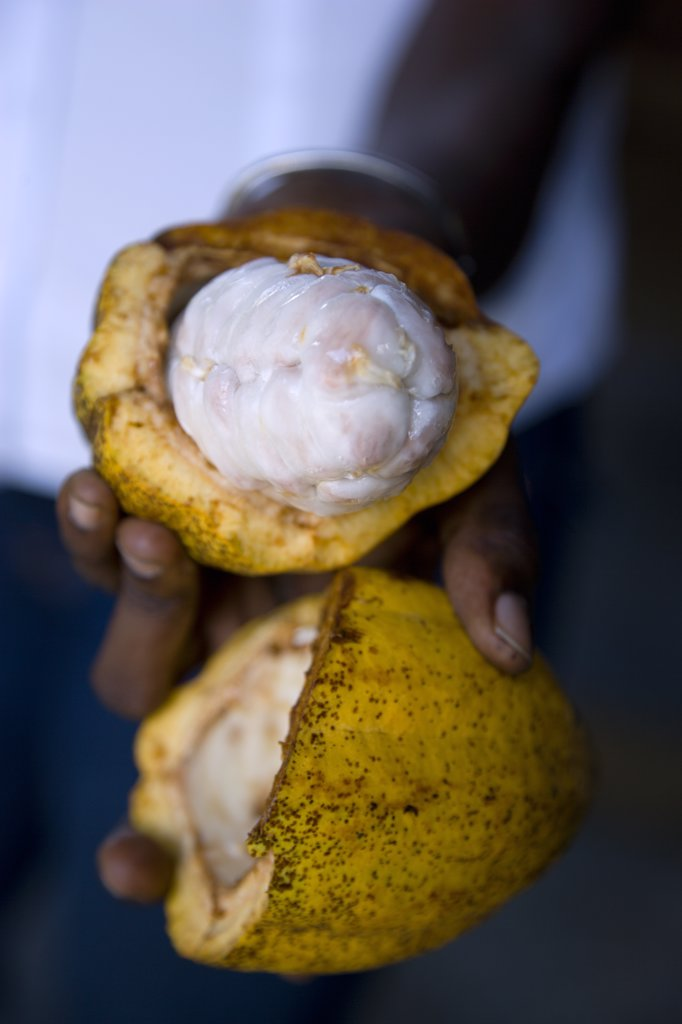 West Indies, Grenada, St Patrick, Female Worker At Belmont Estate Plantation Holding An Open Ripe Cocoa Pod Showing The Mucilaginous Pulp Containing The Undried Cocoa Beans : Stock Photo