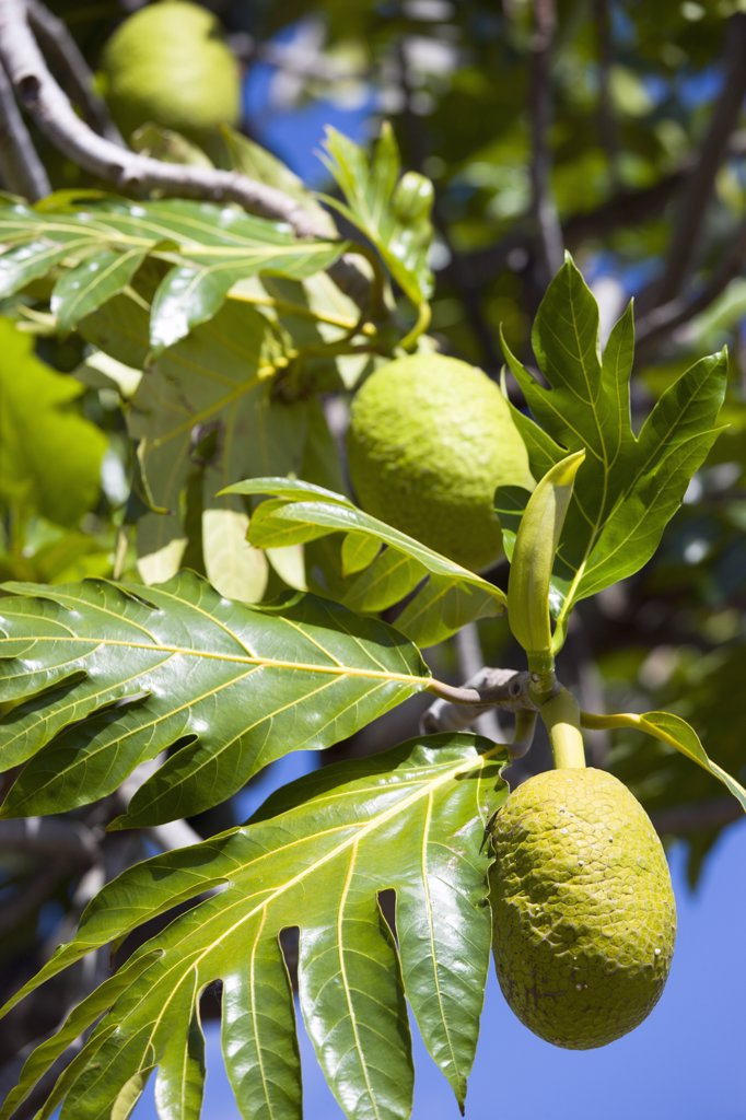 West Indies, Grenada, St George, Breadfruit Growing On A Tree : Stock Photo