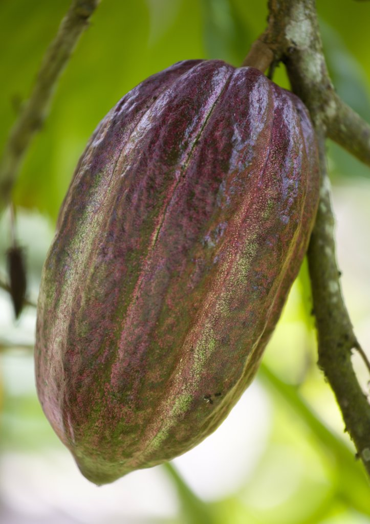 West Indies, Grenada, St John, Unripe Purple Cocoa Pod Growing From The Branch Of A Cocoa Tree : Stock Photo