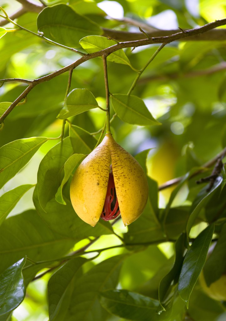 Stock Photo: 1850-27413 West Indies, Grenada, St John, Ripe Open And Ready To Harvest Nutmeg Fruit Growing On A Tree Showing The Nutmeg Inside Coverred With Red Mace.