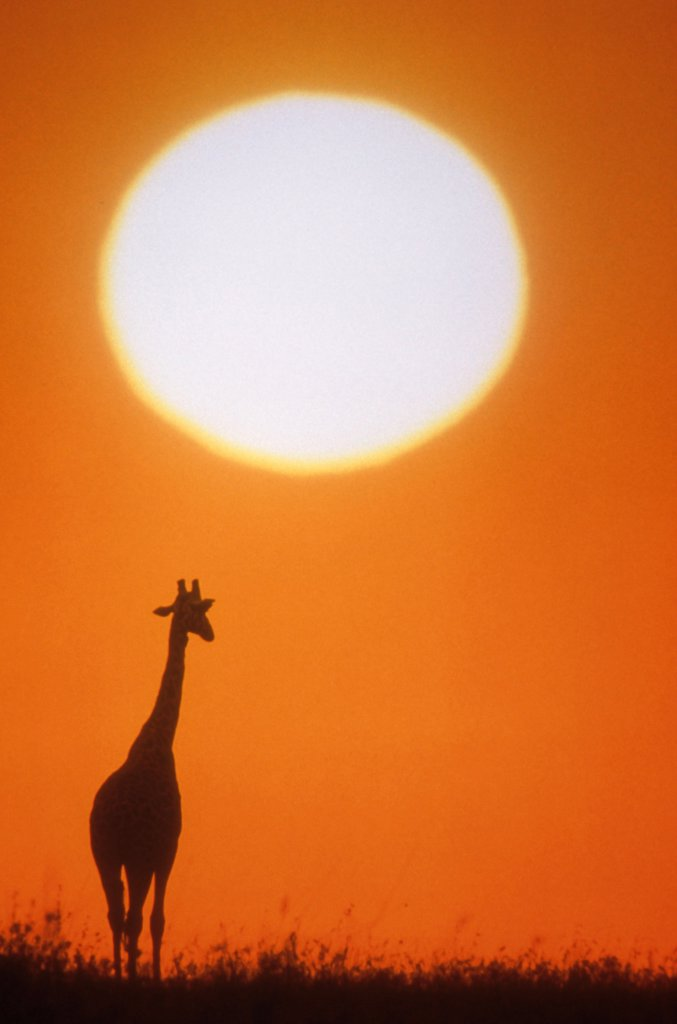 Africa, East, Animals, Giraffe Silhouetted Against Bright Orange Setting Sun. : Stock Photo