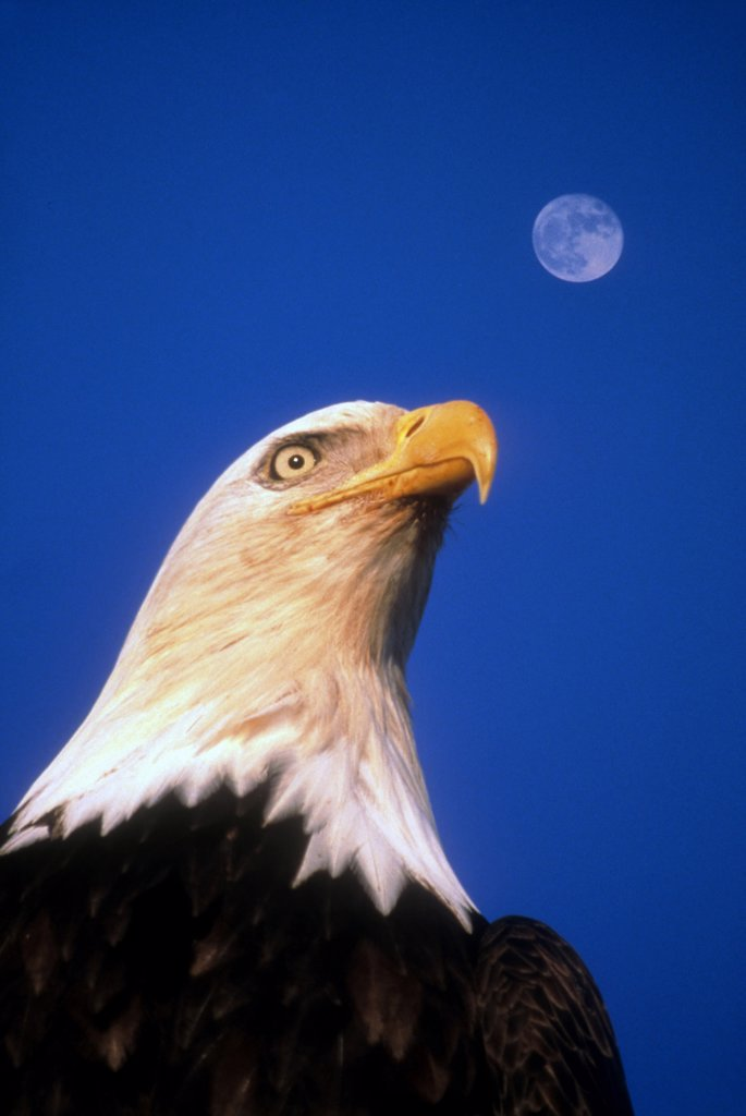 Usa, Alaska, Wildlife, 'Bald Eagle, Haliaeetus Leucocephalus.  Headshot Against Blue Sky With Moon Still Visible.  Alaskan National Symbol.' : Stock Photo