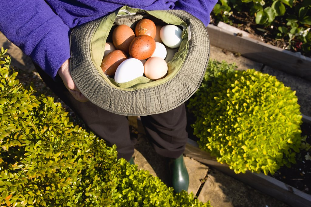 Agriculture, Poultry, Eggs, Lady In Her Allotment Holding A Hat Containing A Variety Of Free Range Eggs That She Has Collected From Her Hens. : Stock Photo