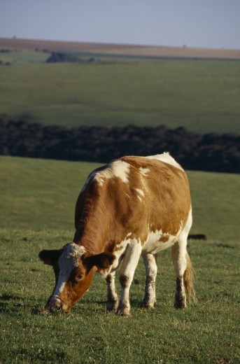 England, Sussex, South Downs, Single Red And White Cow Grazing In A Field. : Stock Photo