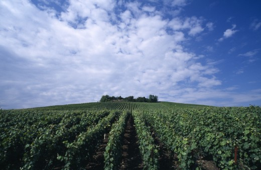 Stock Photo: 1850-3167 France, Nord Picardy , Epernay, Champagne Vines In Lines Leading To A Wood On The Hill Above