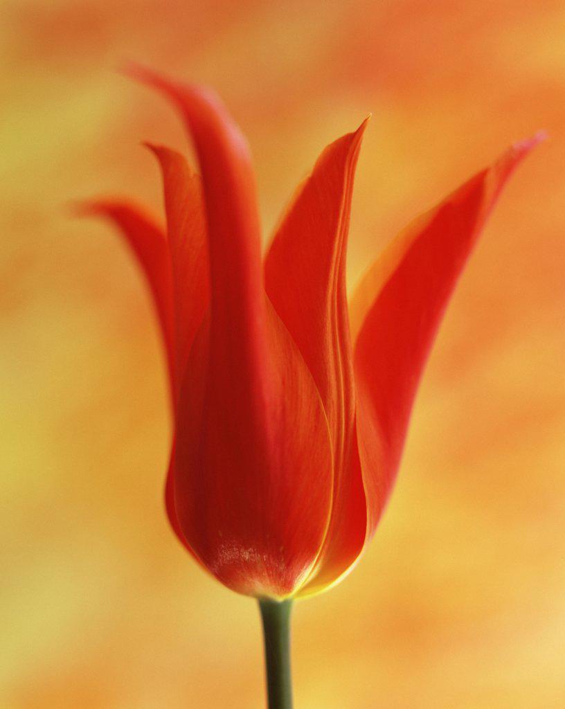 Tulipa 'Ballerina', Tulip : Stock Photo