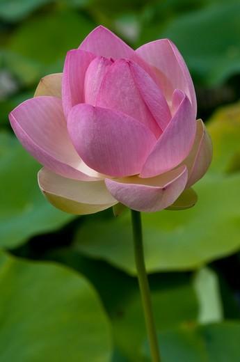 Nelumbo nucifera, Lotus, Sacred lotus : Stock Photo