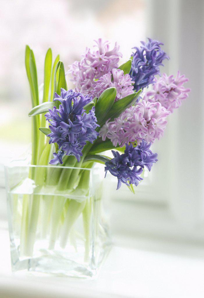 Stock Photo: 1850-33827 Hyacinthus, Hyacinth