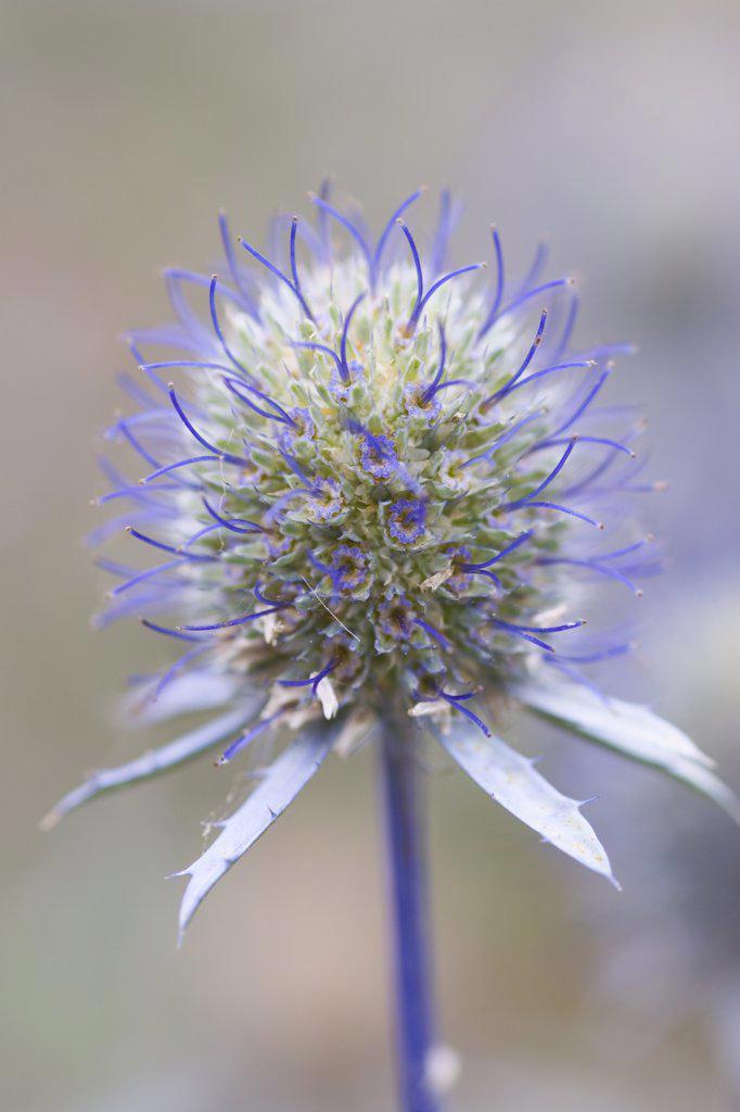 Eryngium planum, Sea holly : Stock Photo