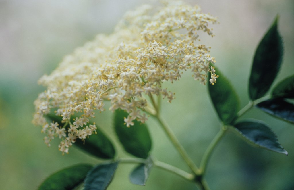 Sambucus nigra, Elder : Stock Photo