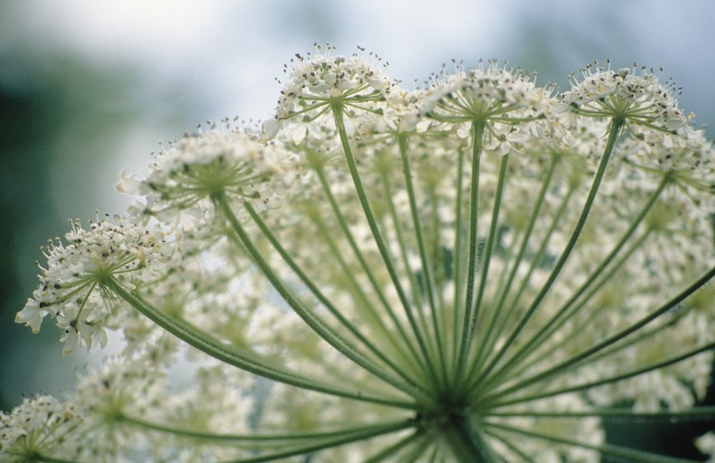 Anethum graveolens alba, Dill : Stock Photo