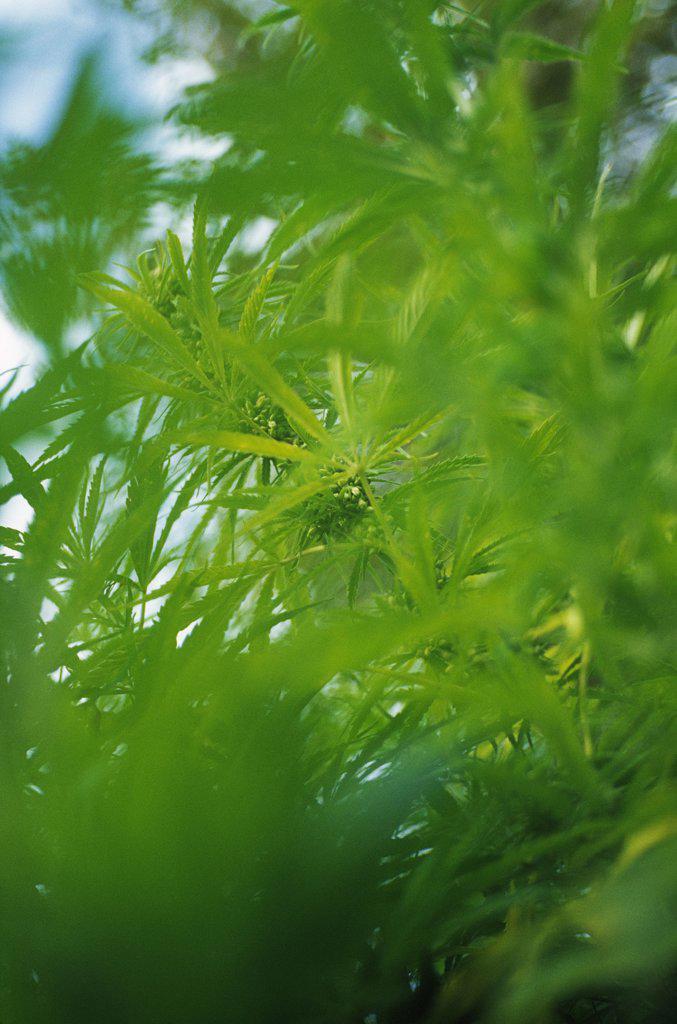 Cannabis sativum, Cannabis, Hemp : Stock Photo