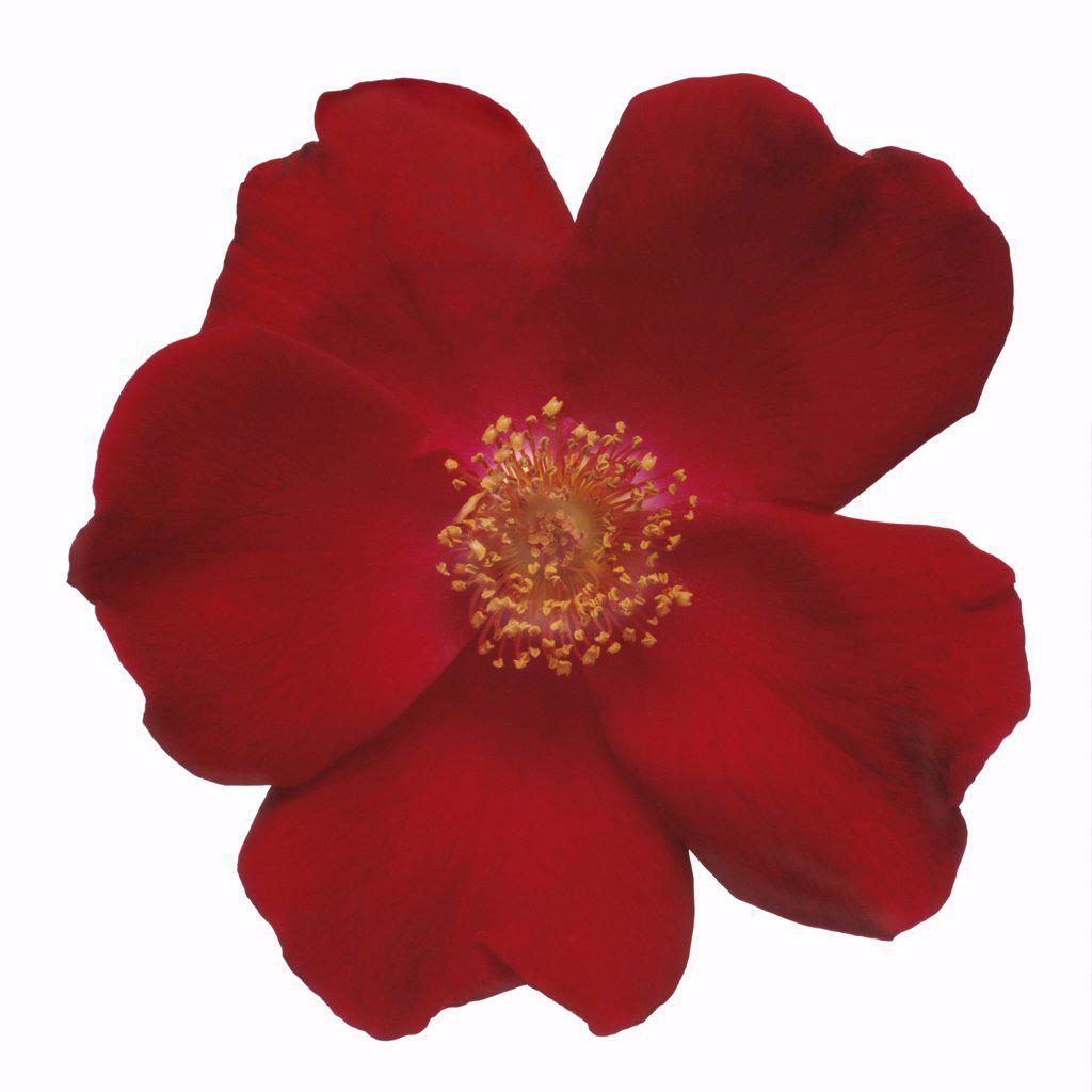 Rosa 'Allen Chandler', Rose : Stock Photo