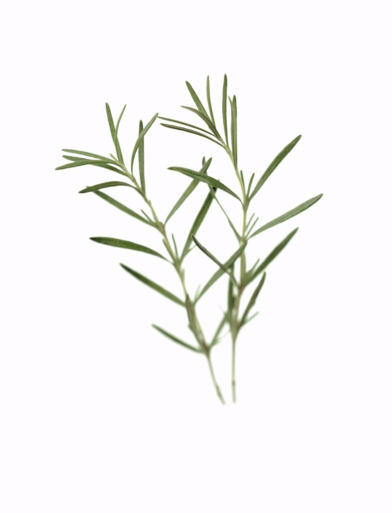 Stock Photo: 1850-34449 Rosmarinus officinalis, Rosemary